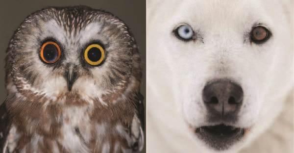 20 ภาพสัตว์โลกที่มีดวงตาข้างละสีกัน !