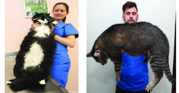 40 แมวยักษ์ที่นอกจากความน่ารักแล้ว คุณจะต้องยอมสยบให้กับความอ้วนของพวกมัน