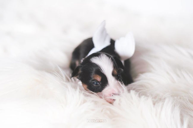 Puppies-with-wings-I-repeat-puppies-with-wings-Prepare-your-heart-to-be-melted-587792344740a__880