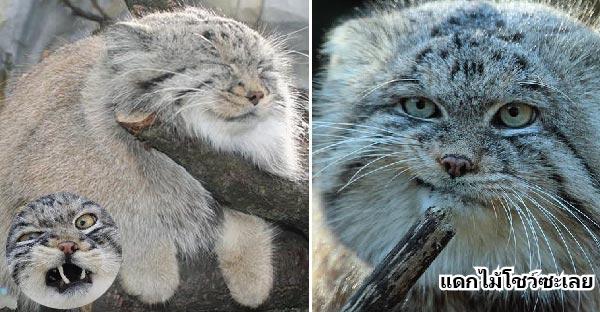 แมวสายพันธุ์ Pallas เป็นแมวตลกมาก แถมยังมีมุมน่ารักให้ได้ดูด้วยนะ ^^