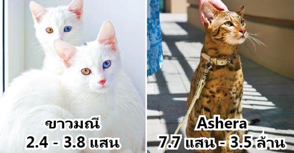 19 สายพันธุ์แมวแพงเอาเรื่องจากทั่วโลก