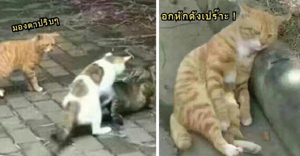 เหมียวส้มสุดเศร้า..หลังโดนแมวเจ้าถิ่นฉุดแฟนสาว จัดหนักต่อหน้าต่อตา O_o