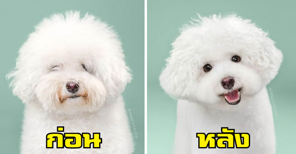 เปรียบเทียบน้องหมาก่อน-หลังตัดขน ที่ดูดีหล่อขึ้นเป็นกอง!