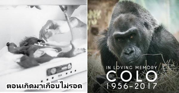 Colo กอริลล่าแก่ที่สุดในโลกเสียชีวิตแล้ว..ชมภาพเรื่องราวตั้งแต่เด็กจนโตได้ที่นี่