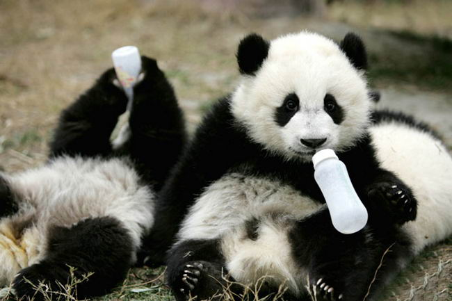 panda-daycare-nursery-chengdu-research-base-breeding-17