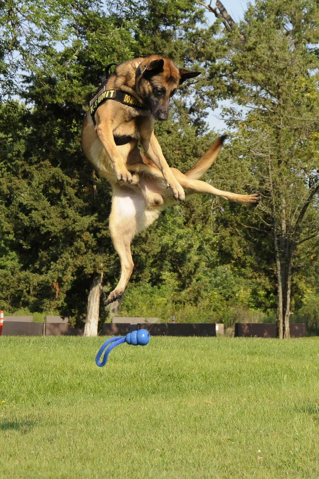 U.S. Air Force military working dog Breston leaps for a toy at Scott Air Force Base, Ill., Aug. 19, 2013, as part of play time that served as a reward after a good performance during training. (U.S. Air Force photo by Staff Sgt. Christopher Boitz/Released)