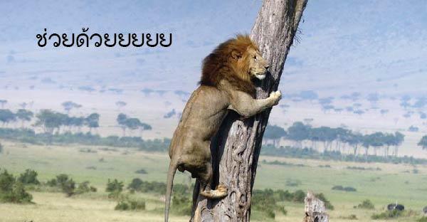 สิงโตถึงกับปีนต้นไม้หนี เมื่อเจอฝูงสัตว์สุดโหดไล่ล่าคืนบ้าง