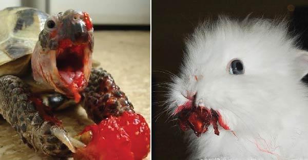 13 ภาพสัตว์ดูเหมือนเลือดกลบปาก แต่จริงๆแล้วมันแค่กินผลไม้แล้วเลอะปากเท่านั้นเอง