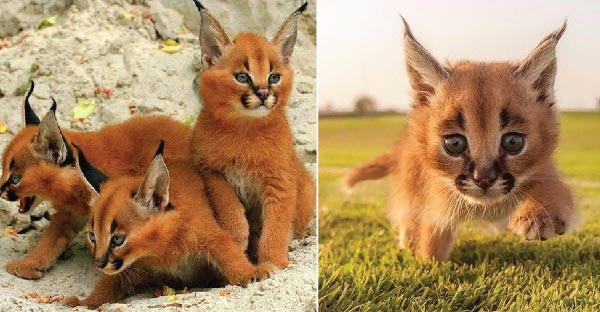 """มารู้จักกับแมว """"คาราคัล"""" สายพันธุ์อียิปต์โบราณ ที่ถูกยกให้เป็นแมวที่น่ารักที่สุดในศตวรรษนี้"""