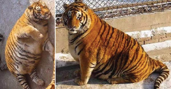 สวนสัตว์จีนขุนเสือจนอ้วนจ่ำม่ำ น่ารักซะจนคนแห่ไปดูกันเพียบ !!