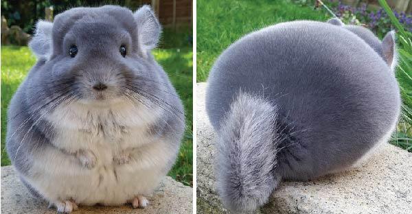 ชินชิล่าอ้วนกลมตัวนี้กับความน่ารักยกกำลังสิบ ที่อยากเอามานอนกอดซะเหลือเกิน