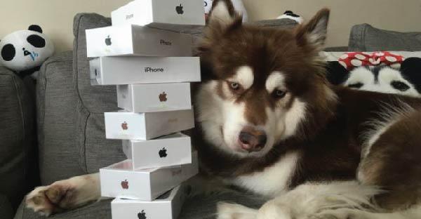 เศรษฐีจีนซื้อ Iphone 7 ให้น้องหมาฮัสกี้กอดเล่น ทำเอาชาวเน็ตด่ากันตรึม !!