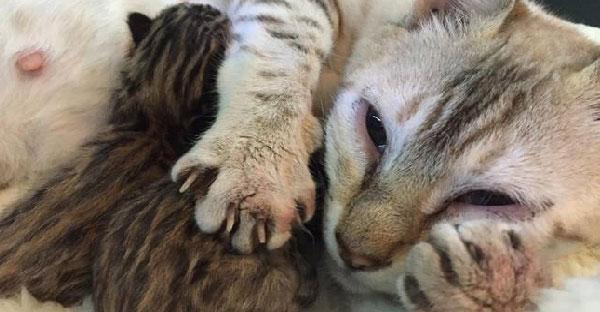 แม่แมวเบงกอลสูญเสียลูกหลายตัวจากสภาวะติดเชื้อ จนเหลือ 2 ตัวที่รอดชีวิตอย่างปาฏิหาริย์