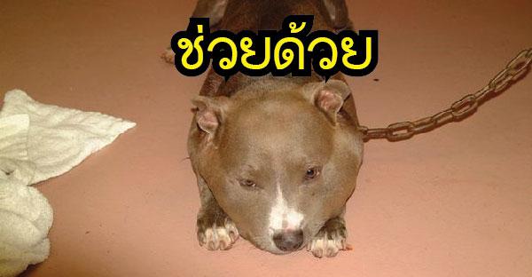 สุนัขพิตบูลโดนล่ามจนหน้าบวมเป่ง ทำให้คนที่เข้าช่วยเหลือต้องน้ำตาซึมกับภาพที่เห็น