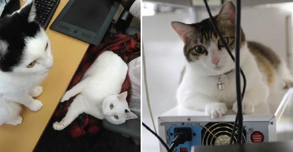 บริษัทในญี่ปุ่นอนุญาตให้นำแมวมาทำงานด้วยได้ แถมใครรับเลี้ยงแมวจรได้โบนัสเพิ่มอีก !!