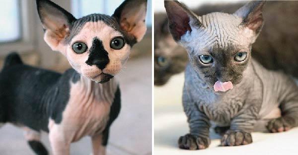 2 แมวสายพันธุ์ใหม่ Sphynxiebob และ Bambob กับความน่ารักแบบย่นๆ ^^