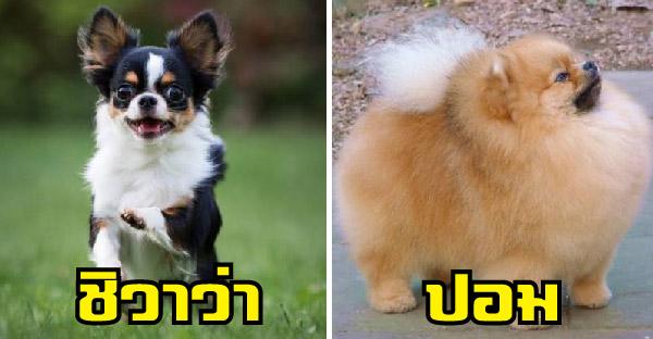 10 อันดับสายพันธ์ุสุนัขที่มีขนาดเล็กที่สุดในโลก