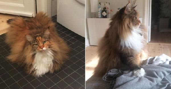 หนูชื่อ Pixel แมวสายพันธ์ุเมนคูน..เค้าว่าหนูเป็นสุนัขในโลกแมวและมีขนปุกปุยที่สุดในโลก!!