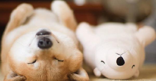 """มาดูความน่ารักของ Maru """"ชิบะ"""" ที่นอนหลับท่าเดียวกับตุ๊กตาตัวโปรดของมันกัน"""