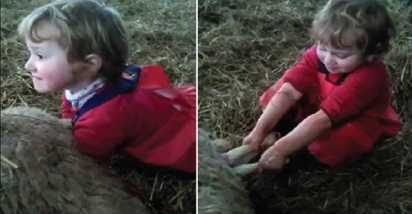 เด็กน้อยอายุ 3 ขวบทำคลอดลูกแกะได้เก่งราวมืออาชีพ!!