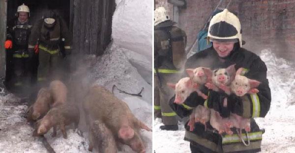 นักดับเพลิงช่วยหมูน้อยกว่าร้อยชีวิตท่ามกลางไฟไหม้ จนกลายเป็นภารกิจน่ารักสุดคูลล์ไปเลย