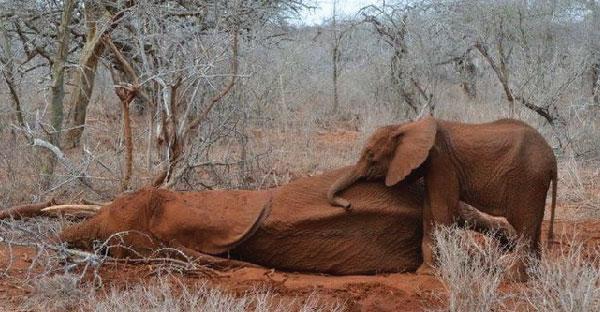 ลูกช้างเฝ้าแม่ที่ถูกยิงไม่ยอมห่างไปไหนจากการล่าเพื่อเอางาช้าง ทำให้คนต้องหลั่งน้ำตาเลยทีเดียว