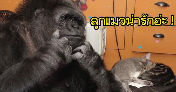 """Koko"" แม่กอริลล่าที่มีลูกเป็นแมวตัวจ้อยที่ทั้งรักทั้งหวง จนเฝ้าดูแลไม่ห่างเลยทีเดียว"