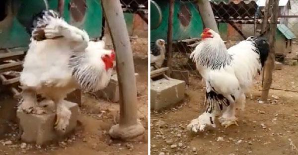 """ไก่ """"บราห์มา"""" สายพันธุ์ที่ใหญ่ที่สุดในโลก มันมีความสูงเกือบ 1 เมตรเลยทีเดียว !!"""