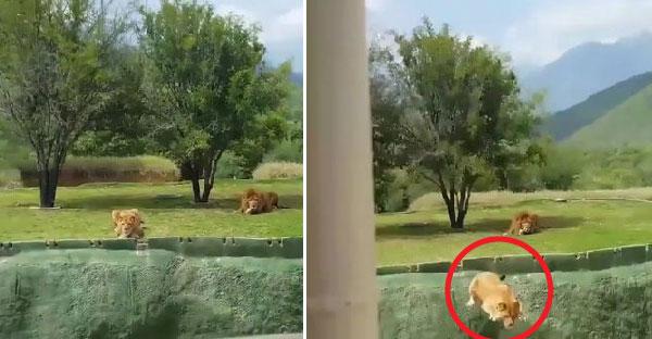 สิงโตพยายามกระโดดข้ามหลุมใส่รถนำเที่ยวสวนสัตว์ ทำเอานักท่องเที่ยวกรีดร้องกันสนั่นหวั่นไหว