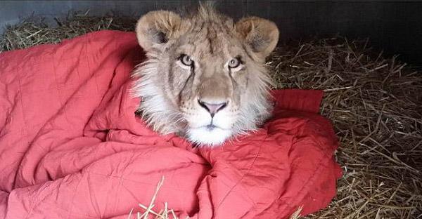 สิงโตแอฟริกาผู้ติดผ้าห่มเป็นชีวิตจิตใจ ไม่ว่าจะไปไหนต้องเอาไปด้วยทุกที่