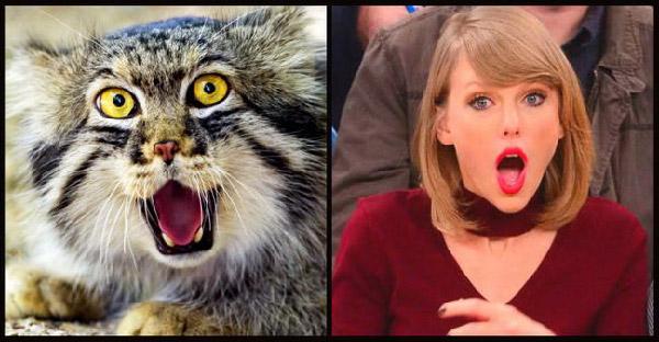 แมวป่าพัลลัสที่มีขนฟูฟ่อง และหน้าเหมือนดาราฮอลลีวูดหลายคนจากการทำหน้าตาสุดกวน