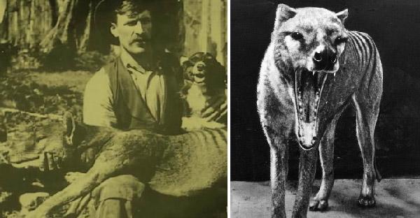 เสือทัสเมเนีย สัตว์ปริศนาที่สูญพันธุ์มาแล้วกว่า 100 ปี