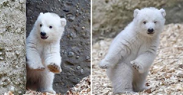 ลูกหมีขั้วโลกเปิดตัวครั้งแรกก็โชว์ลีลา ผลุบๆโผล่ๆจนเรียกเสียงฮือฮาได้เพียบ