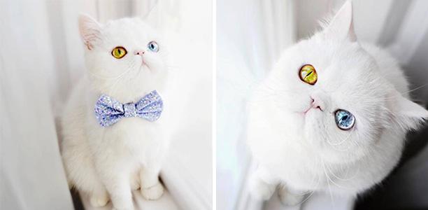 น่ารักสุดๆ เหมียวตัวขาวจั๊วกับดวงตา 2 สีที่จะสะกดคุณให้หลงใหลจนไม่อาจละสายตา!!