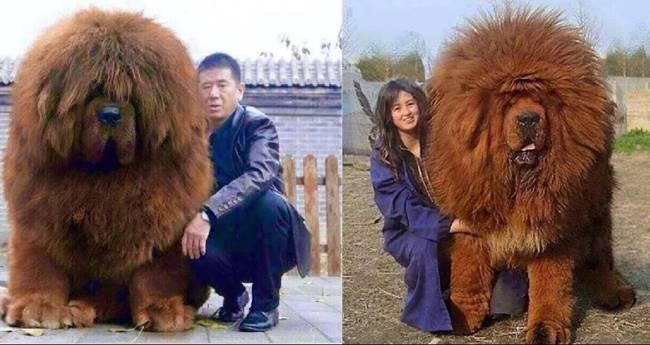 OMG!! สุนัขสายพันธ์ุที่แพงที่สุดในโลก..สนนราคาค่าตัวเวอร์วังกว่า 43 ล้านบาท (O_o!)