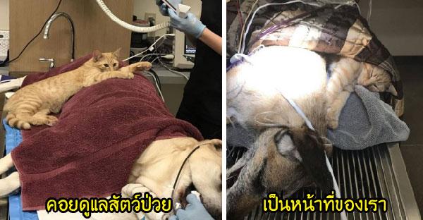 แมวจรบาดเจ็บรักษาตัวที่คลีนิคจนหายดี ก่อนได้ฝึกงานเป็นผู้ช่วยพยาบาลสุดน่ารักซะเลย (*W*)