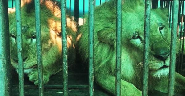 กู้ภัยสัตว์เข้าช่วยเหลือฝูงสิงโตสุดอาภัพ หลังจากโดนคณะละครสัตว์ทารุณกรรม