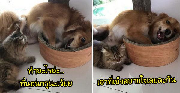 เมื่อหมาบ๊องส์แย่งที่นอนแมวมาเล่น จนเจ้าเหมียวผ่านมาพอดีจึงสนทนากันฮาสนั่น