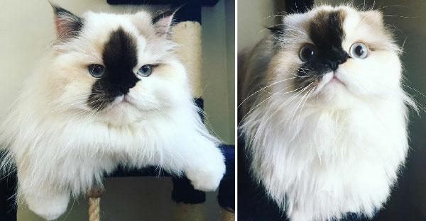 Smudge แมวหิมาลายันหน้าเปื้อนหมึก ที่กลายเป็นเซเลปบนโลกออนไลน์ในขณะนี้