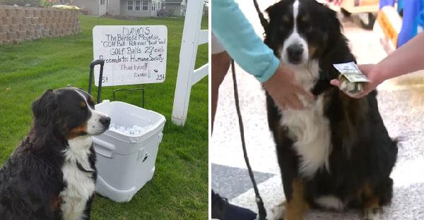 ตูบหารายได้พิเศษด้วยการเก็บลูกกอล์ฟที่หายไป เพื่อนำขายหาเงินช่วยสัตว์ไร้บ้านมากมาย