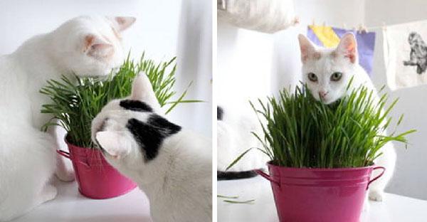 5 ขั้นตอนการปลูกหญ้าแมวง่ายๆ ไว้เป็นของขวัญชิ้นพิเศษที่น้องแมวโปรดปราน (^w^)