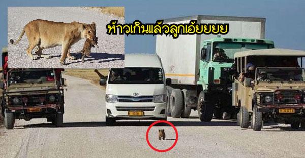 ลูกสิงโตโชว์เก๋าวิ่งขู่คำรามใส่ขบวนรถ แต่แม่สิงโตรีบมาเบรคและรีบคาบออกไปอย่างด่วน