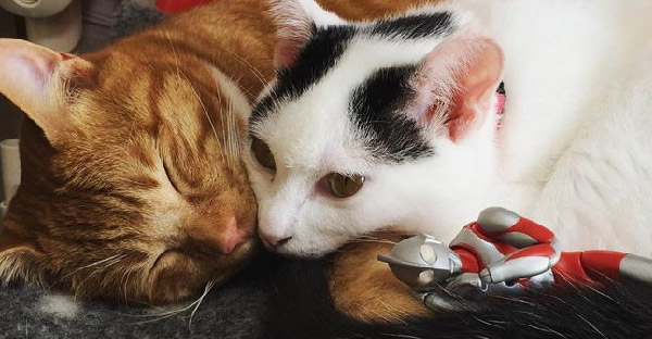 พี่น้องแมวเหมียวถูกเลี้ยงดูมากับอุลตร้าแมน จนสนิทติดหนึบไปด้วยกันทุกที่