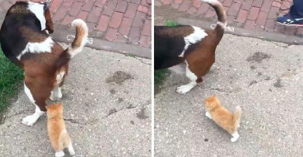 ลูกแมวตัวน้อยรวบรวมความกล้า เดินตามชายใจดีที่กำลังจูงสุนัขเดินเล่นจนถึงบ้าน