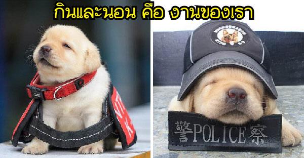 """ลูกสุนัขตำรวจสายพันธุ์ลาบาดอร์สุดน่ารัก ที่ """"นอน"""" และ """"กิน"""" มากกว่าจับผู้ร้าย"""