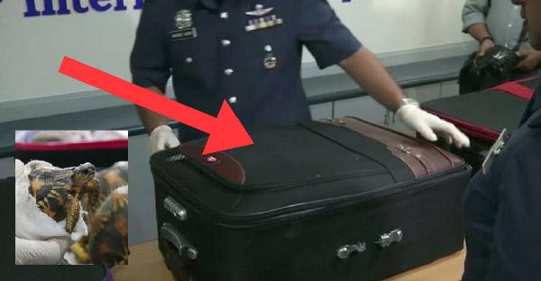 พบกระเป๋าลึกลับ 5 ใบที่สนามบินของมาเลย์ เมื่อเปิดออกจึงพบเต่ากว่า 300 ตัวซ่อนอยู่