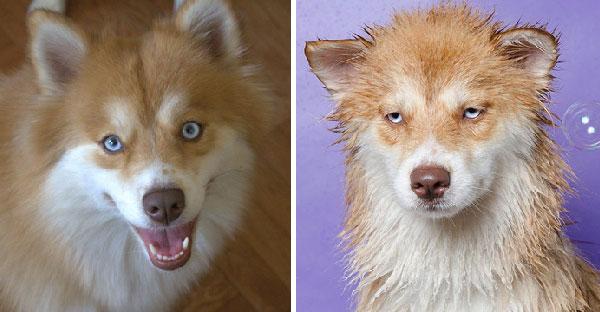 """17 ภาพเปรียบเทียบ """"ก่อน"""" และ """"หลัง"""" อาบน้ำ ทำเอาน้องหมาหายซ่าทำหน้าเซ็งไปเลย"""