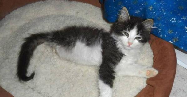 ลูกแมวไร้ขาหลังไม่ยอมแพ้โชคชะตา ใช้หางหลังแทนขาจนเติบโตเป็นแมวสวยสง่าสุดๆ