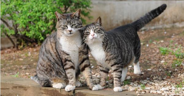 แมวลายสลิดแบ่งได้ 5 ลักษณะ ตามลวดลายอันเป็นเอกลักษณ์