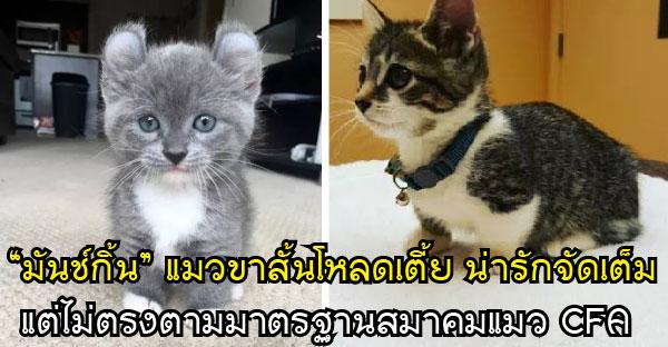 """""""มันช์กิ้น"""" แมวขาสั้นโหลดเตี้ย น่ารักจัดเต็ม แต่ไม่ตรงตามมาตรฐานสมาคมแมว CFA"""